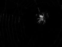 Svartvit spindel Arkivfoton