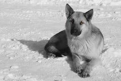 Svartvit stående av hunden som lägger i vit ny snö på frostig vinterdag royaltyfri fotografi