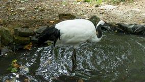 Svartvit stork som går i lugna vattnet Arkivfoton