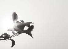 Svartvit svart för blomma som malas på den Thailand staden fotografering för bildbyråer