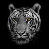Svartvit tiger Fotografering för Bildbyråer