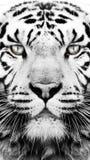 Svartvit tigermodelltapet Royaltyfri Bild
