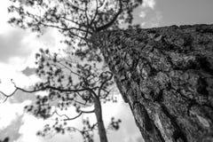 svartvit trädbakgrund Royaltyfri Bild