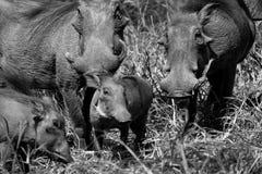 (Svartvit) vårtsvin, Fotografering för Bildbyråer