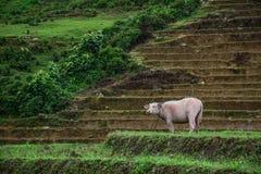 Svartvit vietnamesisk vattenbuffel royaltyfri bild