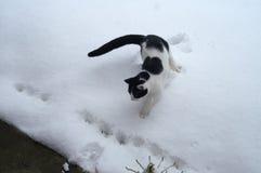 Svartvita Cat Encounters Snow Royaltyfri Bild
