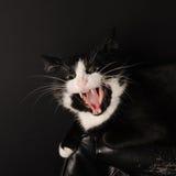 Svartvita Cat Predator Licks i kameran visar en grina och alla tänder begrepp om husdjur och djur arkivfoto