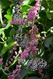 Svartvita fjärilar som matar på rosa blomningvinranka Royaltyfria Foton
