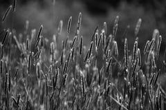 Svartvita foxtails i ett fält royaltyfri bild