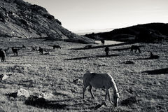 Svartvita hästar Royaltyfri Foto