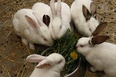 Svartvita inhemska kaniner Arkivfoton