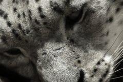 Svartvita irbis för framsidasnöleopard, Pantherauncia, Uncia uncia Royaltyfria Bilder
