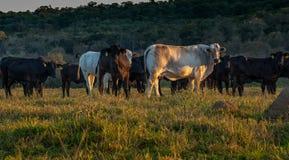 Svartvita kor för landsbygdnötkreaturmorgon arkivbild