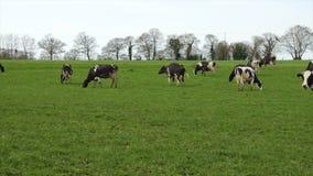 Svartvita kor på gräsplan betar stock video