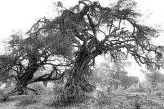 Svartvita mystiska träd royaltyfria foton