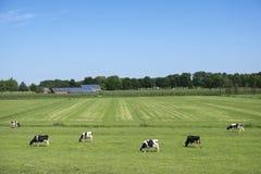 Svartvita prickiga kor i grön gräs- äng med solpaneler täckte lantgården och blå himmel royaltyfri bild