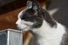 Svartvita skrapor för en katt hans haka Stående av en katt Fotografering för Bildbyråer
