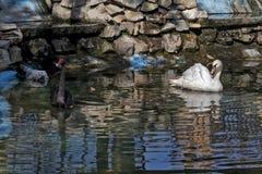 Svartvita svanar i gräsplanen water02 royaltyfri fotografi