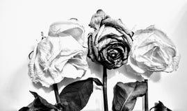 Svartvita torkade rosor Fotografering för Bildbyråer