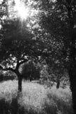 Svartvita träd Royaltyfria Foton