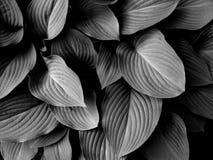 Svartvita tropiska sidor fotografering för bildbyråer