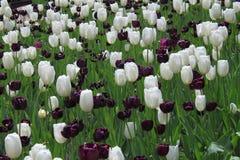 Svartvita Tulip Field Arkivbild