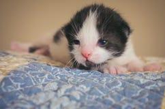 Svartvita Tux Kitten på den vadderade filten royaltyfri foto
