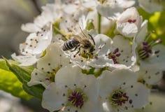 Svartvita Wasp Arkivfoton