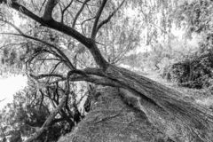 Svartvitt böjt ledset fullvuxet för träd royaltyfri bild