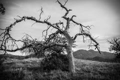 Svartvitt dött träd Royaltyfri Bild