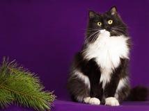 Svartvitt fluffigt kattsammanträde på en lila Fotografering för Bildbyråer