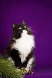 Svartvitt fluffigt kattsammanträde på en lila Royaltyfri Bild