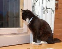 Svartvitt fluffigt kattsammanträde på tabellen framme av fönstret och blickarna utanför Ligga bredvid en kortlek Fotografering för Bildbyråer