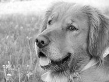 Svartvitt foto av en golden retrieverhund Fotografering för Bildbyråer