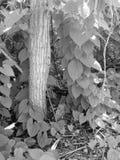 Svartvitt foto av vinrankor arkivfoto