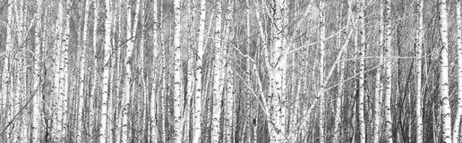 Svartvitt foto av vita björkar arkivfoton