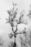 Svartvitt foto för björkträd arkivfoton