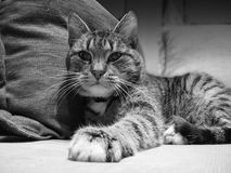 Svartvitt foto för katt Royaltyfria Foton