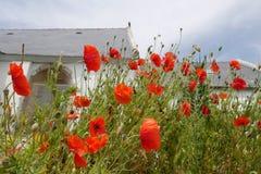 Svartvitt fotografi med den röda vallmo och kyrkan i bakgrunden arkivfoton