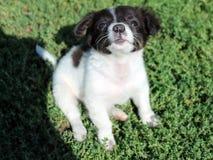 Svartvitt hoppar en liten hund en gång på gräset Arkivfoto