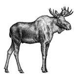 Svartvitt inrista den isolerade illustrationen för älghandattraktion Royaltyfri Foto