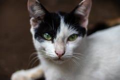 Svartvitt katt?ga royaltyfri bild