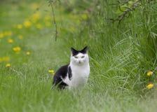 Svartvitt kattsammanträde i ett gräs med maskrosor i en fruktträdgård Royaltyfri Bild