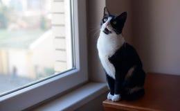 Svartvitt kattsammanträde nära fönstret Royaltyfria Foton