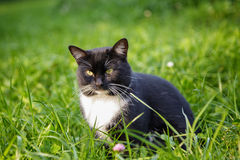 Svartvitt kattsammanträde på gräs Royaltyfria Bilder