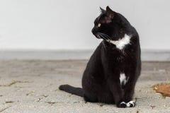 Svartvitt kattsammanträde som stirrar till det vänstert Fotografering för Bildbyråer