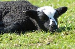 Svartvitt lamm Arkivbilder