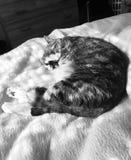 Svartvitt | Nätta Junior Tabby Girl Cat Arkivfoton