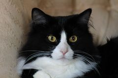 Svartvitt sammanträde för inhemsk katt på stol Royaltyfri Bild