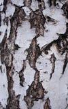Svartvitt skäll av en björk Arkivfoto